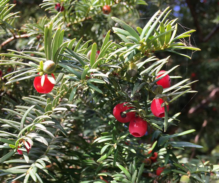 Eibenbusch mit Fruchtkörper