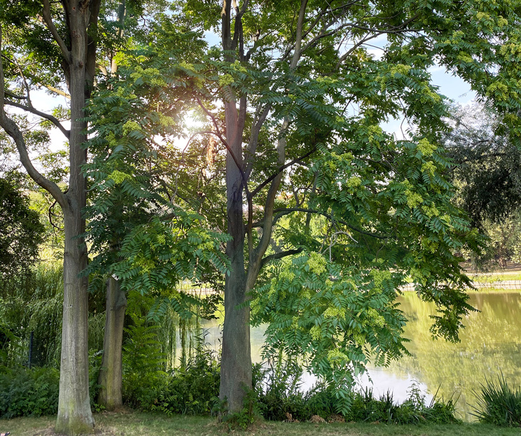 Götterbäume am Ufer des Lietzensees