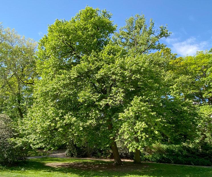 Ansicht einer Baumhasel im Frühling