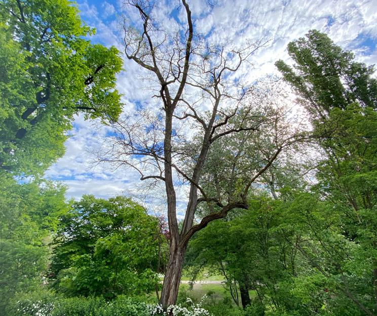 Ansicht einer Robinie im Frühling